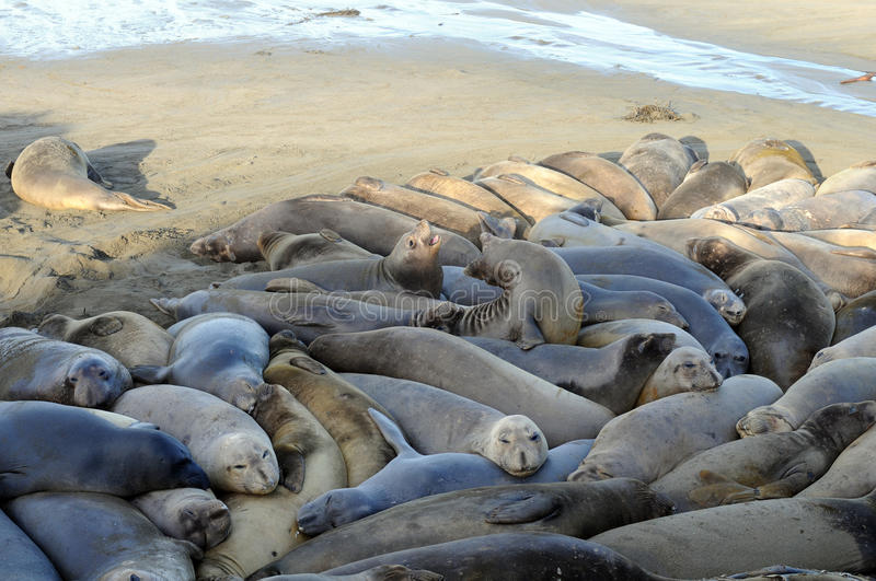 Download Elephant Seals crowded stock photo. Image of lazy, snuggled - 15818882