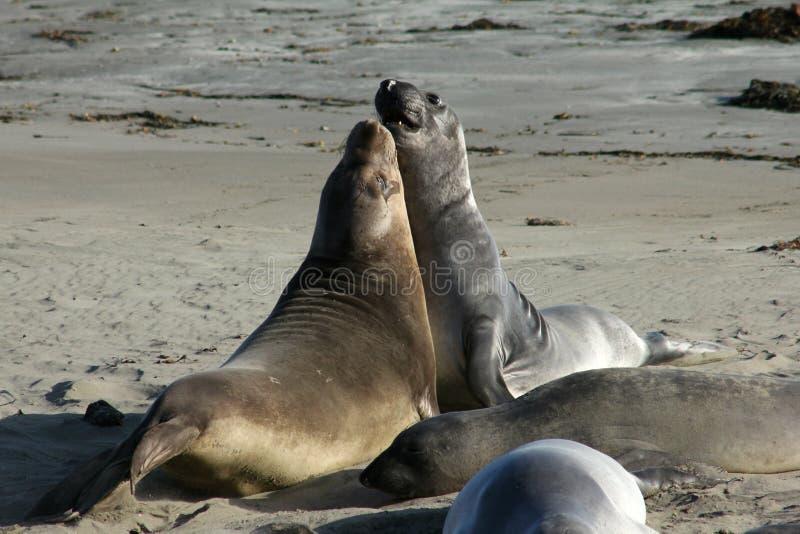 Elephant Seals Fight stock image