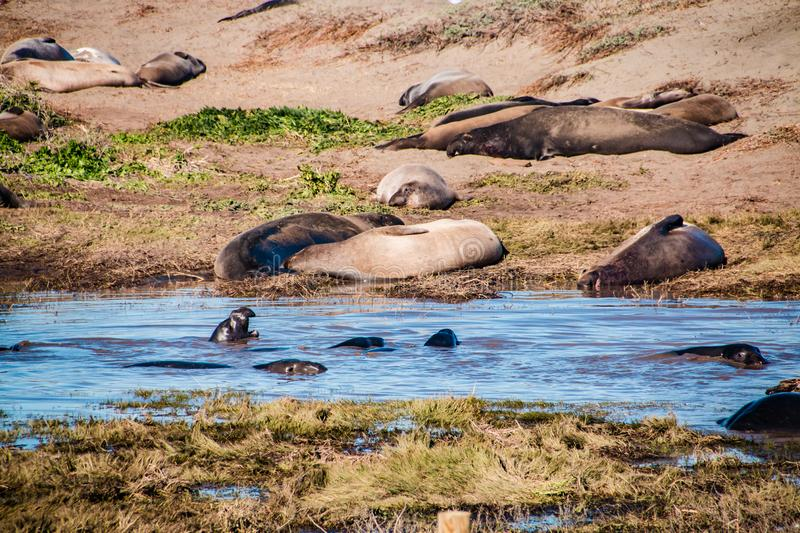 Elephant seals laying on the beach sunbathing in USA stock images