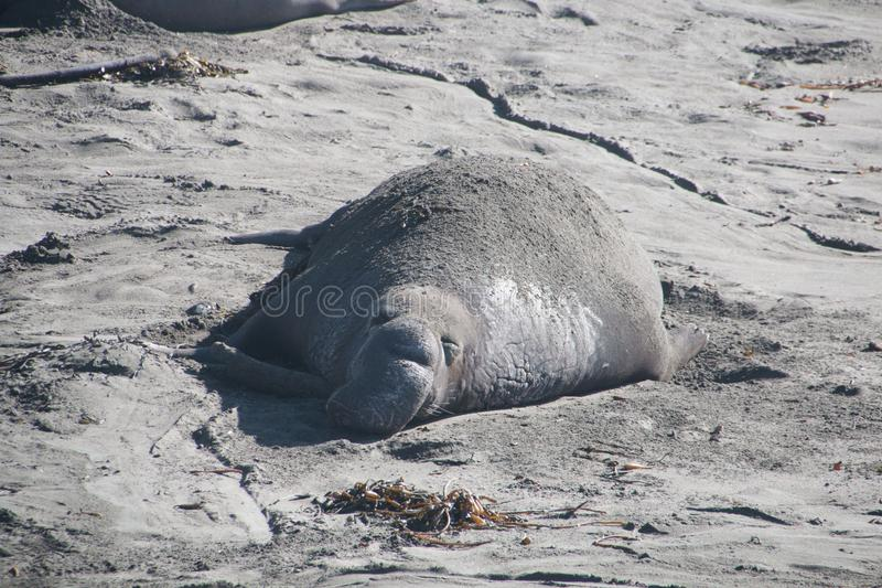 Elephant seals laying on the beach sunbathing in USA stock photos