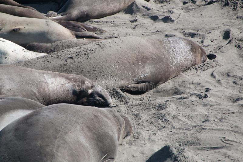 Elephant seals laying on the beach sunbathing in USA stock photography
