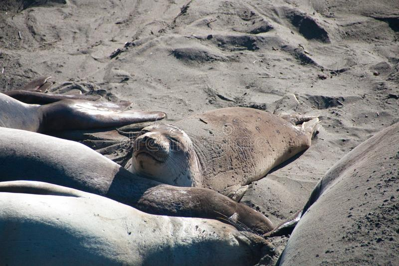 Elephant seals laying on the beach sunbathing in USA royalty free stock photo