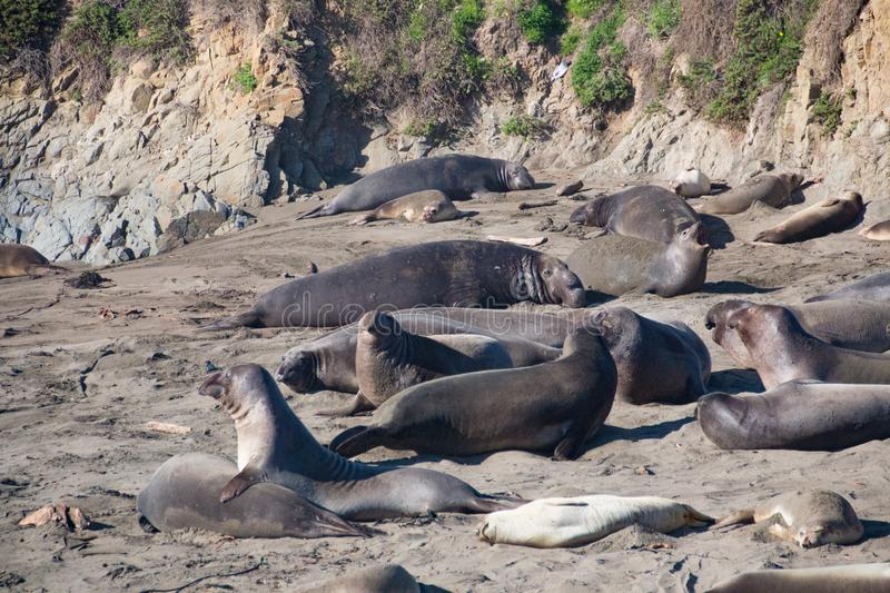 Elephant seals laying on the beach sunbathing in USA stock image