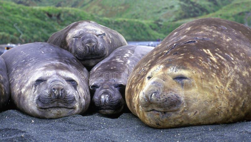 Elephant seals royalty free stock photo