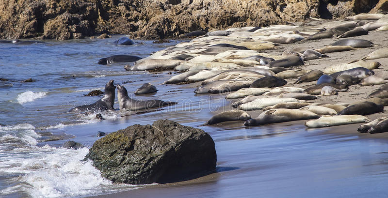 Elephant seals Mirounga on beach at San Simeon stock photo