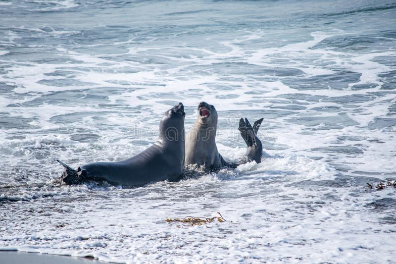 Elephant seals playing in the ocean royalty free stock image
