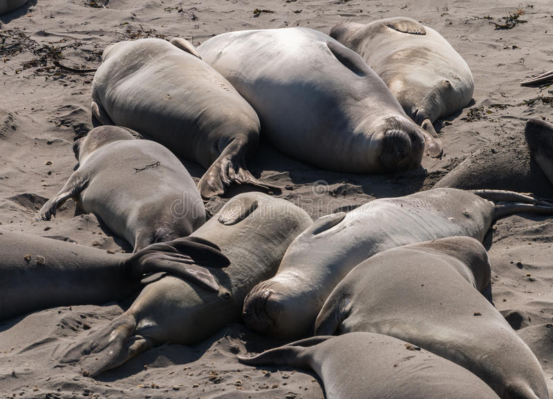 Download Elephant Seals Relaxing On The Beach Stock Image - Image: 34973461