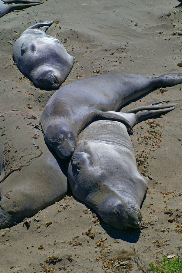 Elephant seals sleeping on beach in California. Lazy elephant seal sleep in the sunshine together on a beach near Santa Barbara, California stock images