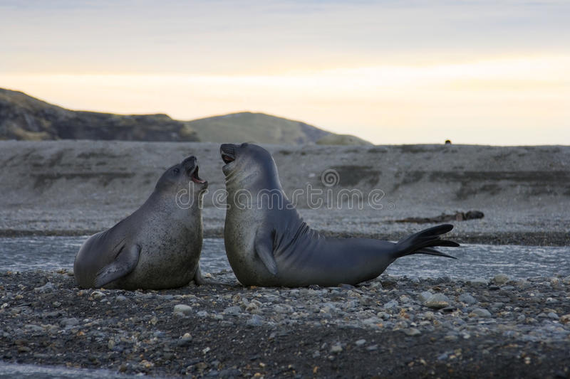 Elephant Seals in St. Andrews Bay, South Georgia stock images