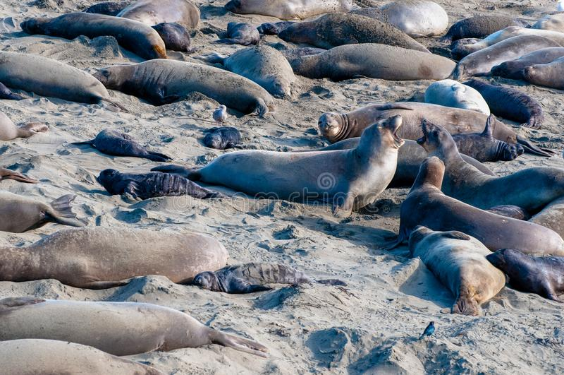 Elelphant Seal Rookery Squabble royalty free stock image