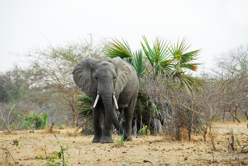 Elephant in the Selous game reserve stock image
