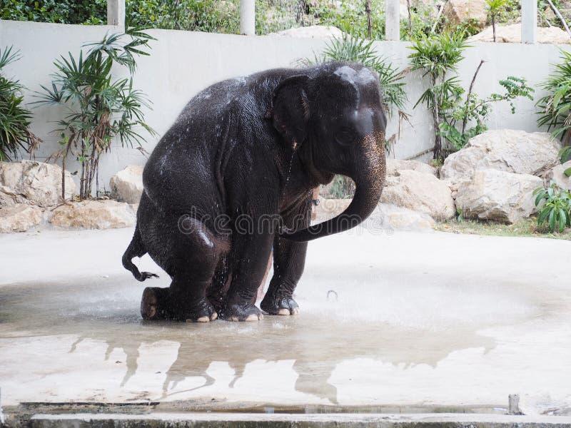 Elephant show diary bathing shower. CHONBURI, THAILAND - December 04, 2017:Thai clever elephant show diary bathing shower at Khao Kheow Open Zoo, Chonburi stock image