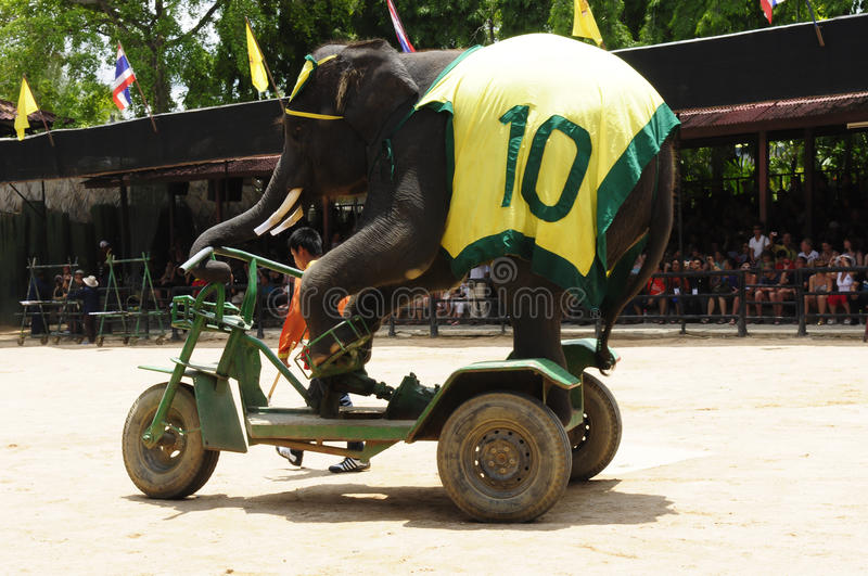 Elephant show, an elephant rides bicycle. Nong Nooch Garden, Thailand - May 5,2011 - Elephant show, an elephant rides bicycle stock photography