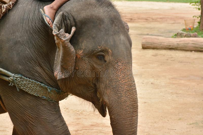 The elephant show one activity that people like to show Thailand. Elephant Conservation Center Lampang- 2018 stock photo