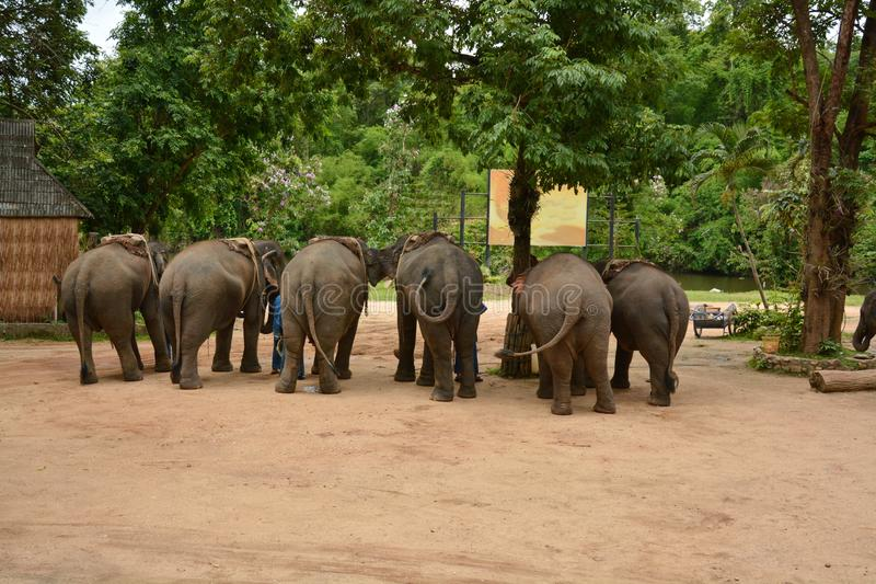 The elephant show one activity that people like to show Thailand. Elephant Conservation Center Lampang- 2018 stock images