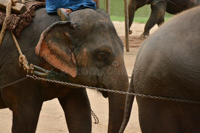 The elephant show one activity that people like to show Thailand. Elephant Conservation Center Lampang- 2018 stock photos