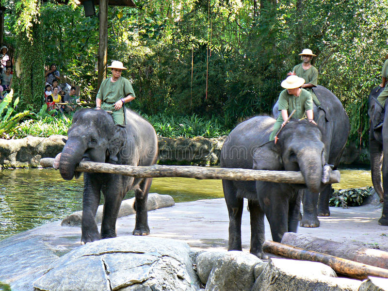 Elephant show. A pair of elephants lifting a tree log at the instructions of their human trainers during an elephant show in the Mandai zoo, Singapore stock photos