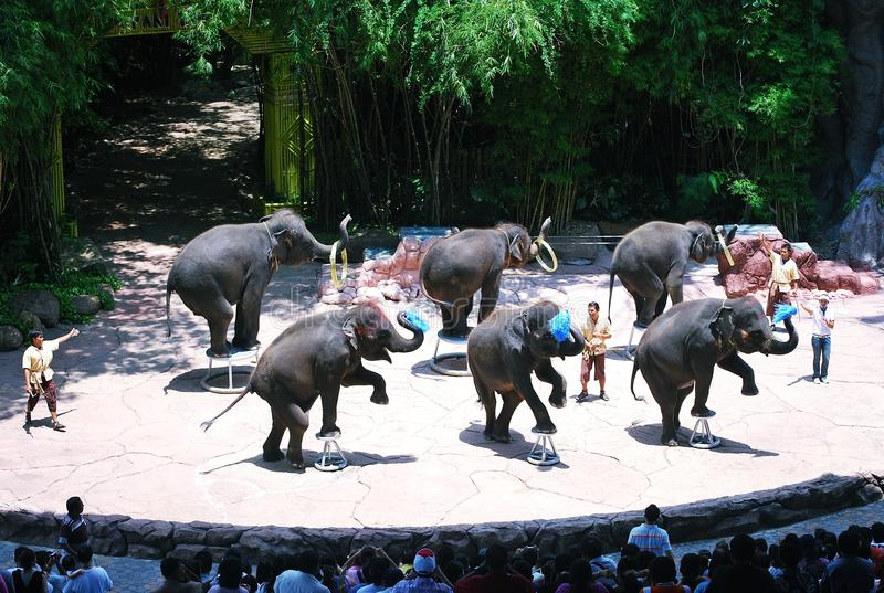 Elephant show. Safari world , thailand : elephant dancing show royalty free stock photos