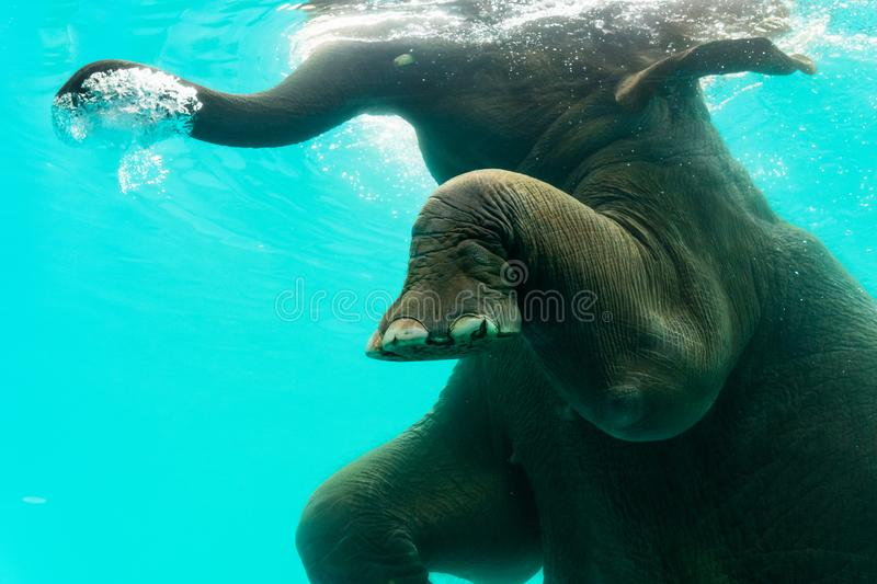 Elephant show swimming and blow the bubbles out of the trunk underwater. In Thailand royalty free stock photography