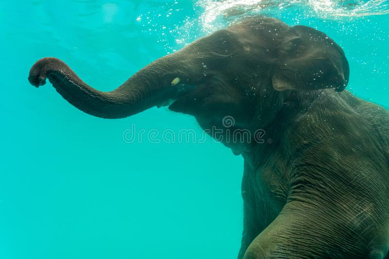 Elephant show swimming and blow the bubbles. Out of the trunk underwater in Thailand royalty free stock photos