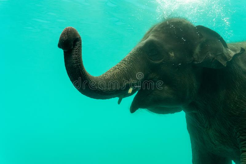Elephant show swimming and blow the bubbles. Out of the trunk underwater in Thailand royalty free stock images