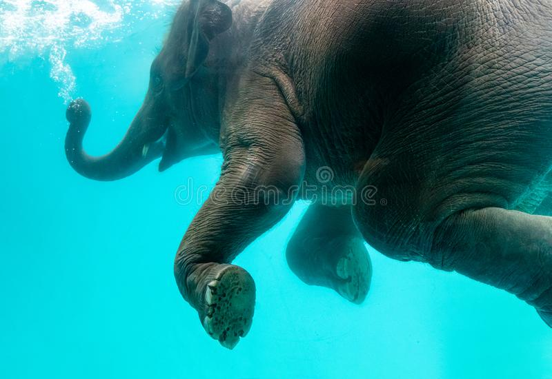 Elephant show swimming and blow the bubbles. Out of the trunk underwater in Thailand stock photo