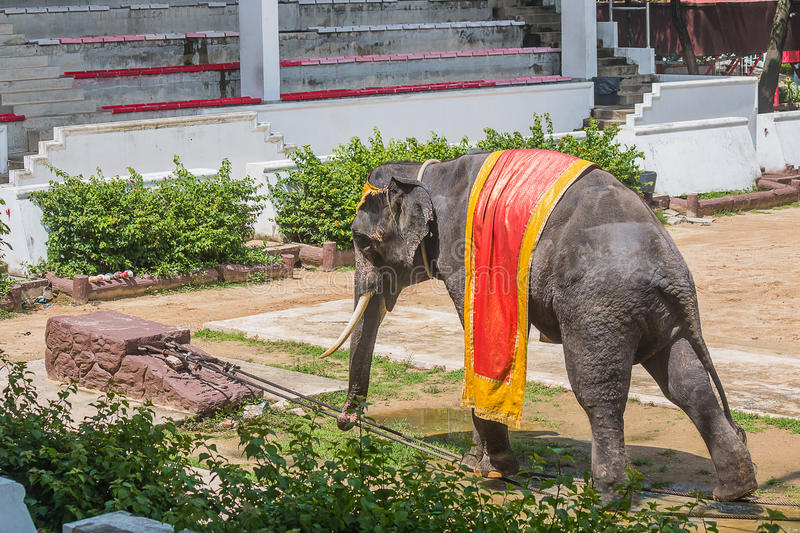 Elephant show walking. On a wire rope stock images