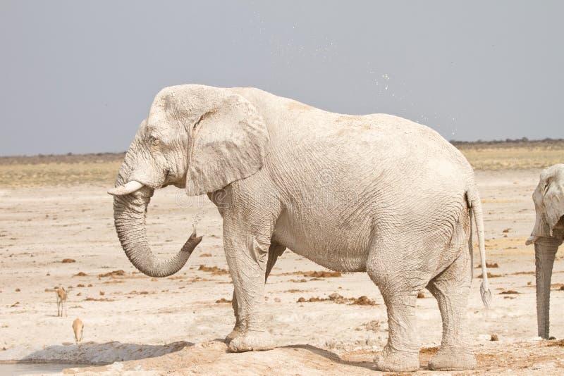 Elephant showering. African elephant showering, Etosha, Namibia royalty free stock photography