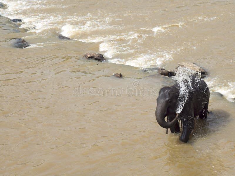Elephant showering itself royalty free stock photos