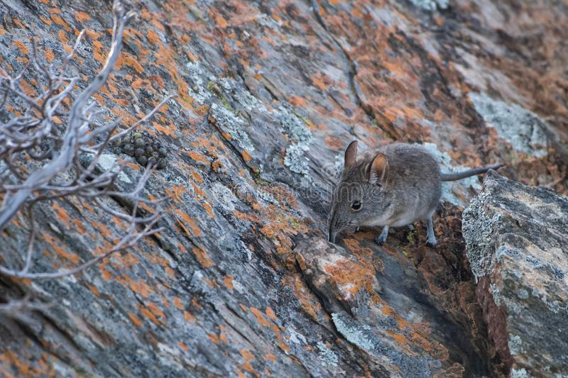 Elephant shrew hiding in crack royalty free stock photography