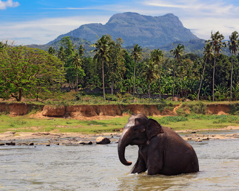 Elephant sit in lake water in jungle. Fuuny elephant sit in lake water in jungle royalty free stock photos