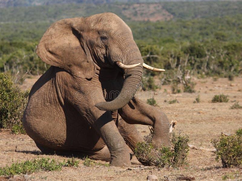 Elephant sitting. royalty free stock photography