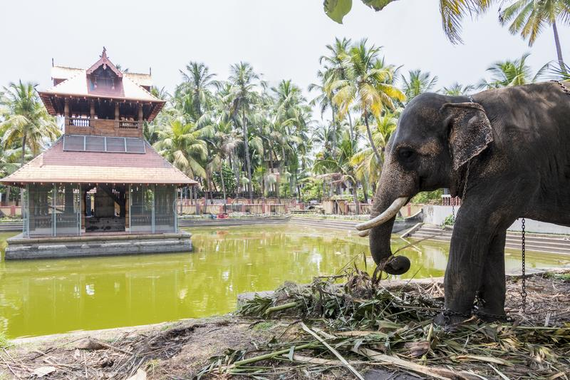 Elephant in Siva Temple in Kochi Cochin, India. Big elephant in Siva Temple in Kochi or Cochin, India royalty free stock photography
