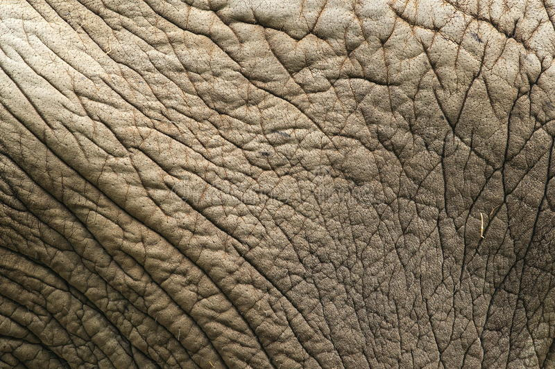 Download Elephant skin stock photo. Image of mammal, nature, skin - 26775936