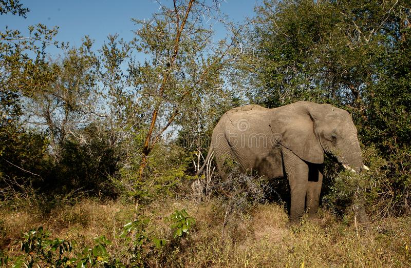 Elephant in South Africa royalty free stock images