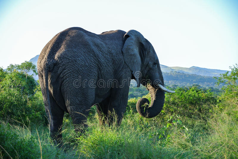 Elephant in South Africa stock photo