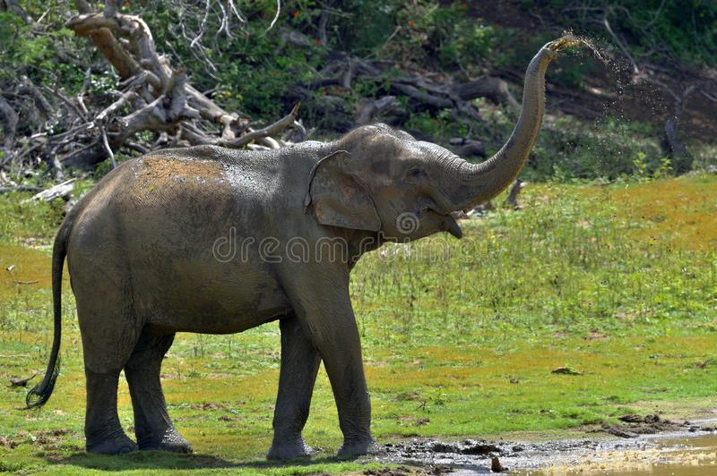 Elephant spraying dirt and water on itself royalty free stock photography