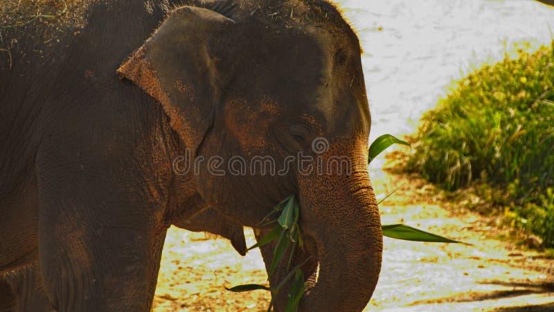 Elephant spraying water; Laos Bolavenplateau stock photo