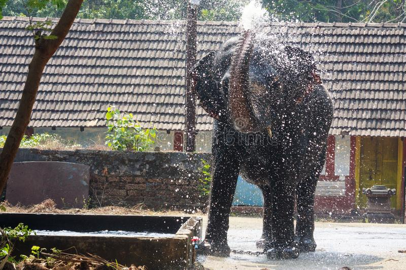 Elephant spraying water in the elephant sanctuary, Guruvayoor. Elephant spraying the water to beat the heat in the elephant sanctuary, Guruvayoor, Kerala stock photo