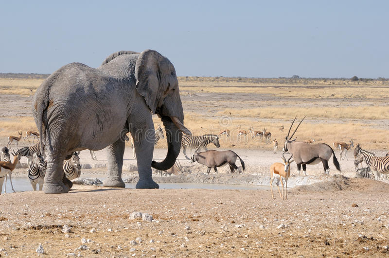 Elephant, springbok, oryx and zebras. In the Etosha National Park, Namibia royalty free stock images