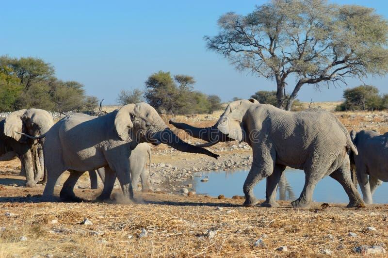 Elephant squabble, Etosha National Park, Namibia stock photography