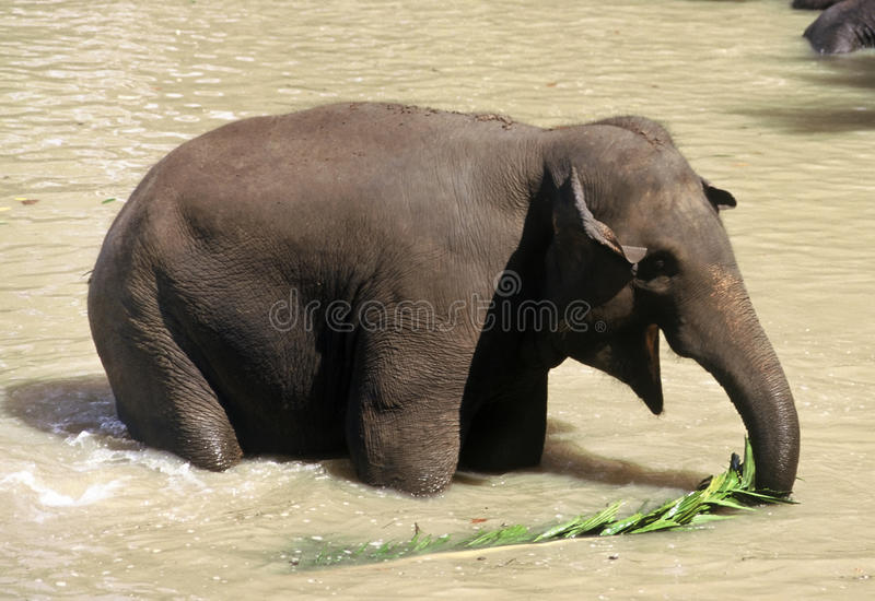 Elephant, Sri Lanka stock image