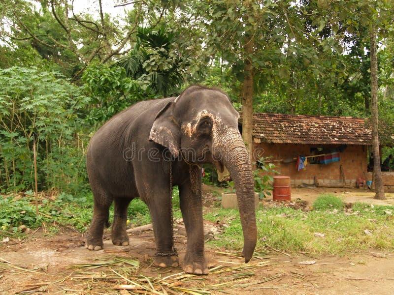 Elephant, Sri Lanka Stock Image