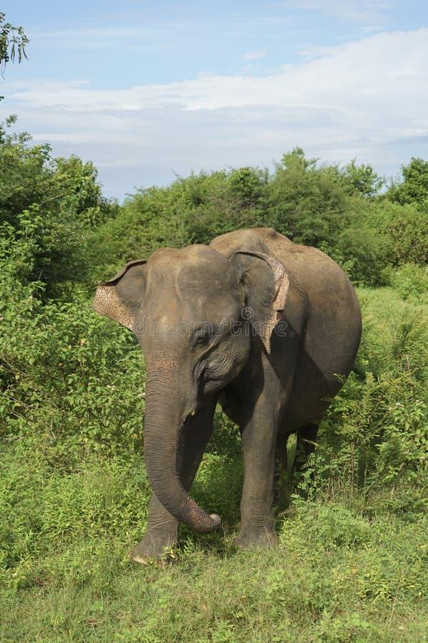 Elephant in Sri Lanka stock photos