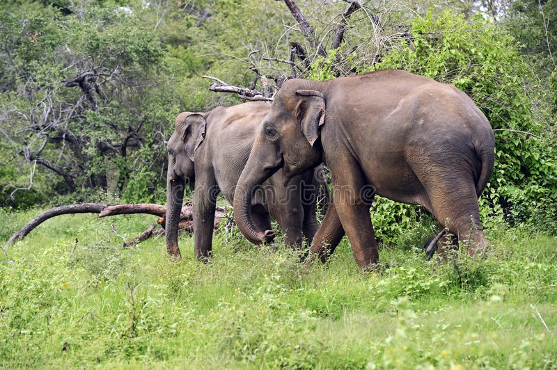 Elephant in Sri Lanka stock photos
