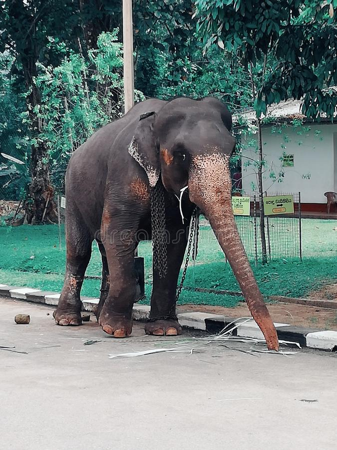 Elephant in srilanka stock photos
