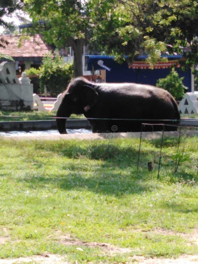 This is Elephant in  srilanka stock photo
