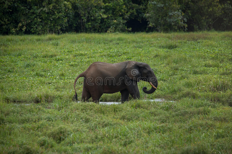 Elephant standing in profile in the water among the green grass (Congo) royalty free stock photography