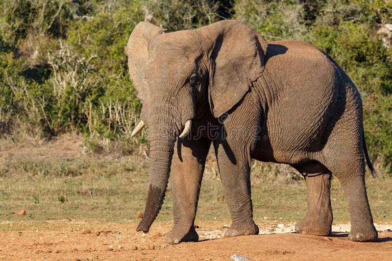 Elephant standing proud at the watering hole stock photo