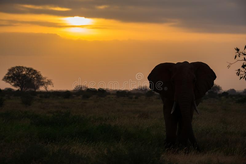 An elephant is standing in the savannah at sunset royalty free stock photos